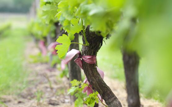 vignes-grains-estuaire